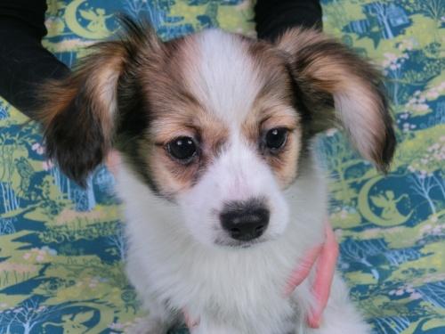 パピヨンの子犬(ID:1244711594)の3枚目の写真/更新日:2017-11-27