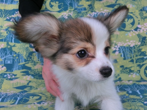 パピヨンの子犬(ID:1244711595)の2枚目の写真/更新日:2017-11-27