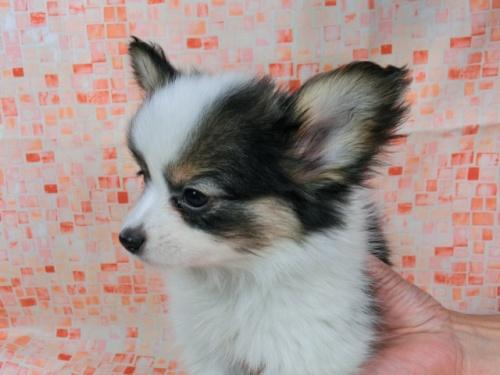 パピヨンの子犬(ID:1244711596)の1枚目の写真/更新日:2017-11-27