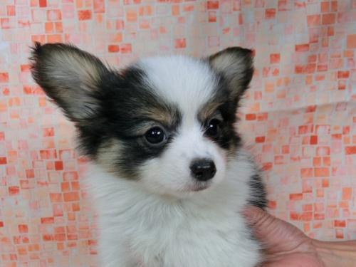 パピヨンの子犬(ID:1244711596)の2枚目の写真/更新日:2017-11-27