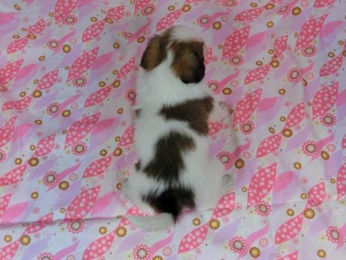 パピヨンの子犬(ID:1244711597)の4枚目の写真/更新日:2017-11-28