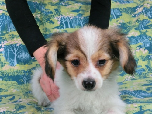 パピヨンの子犬(ID:1244711598)の1枚目の写真/更新日:2017-11-28