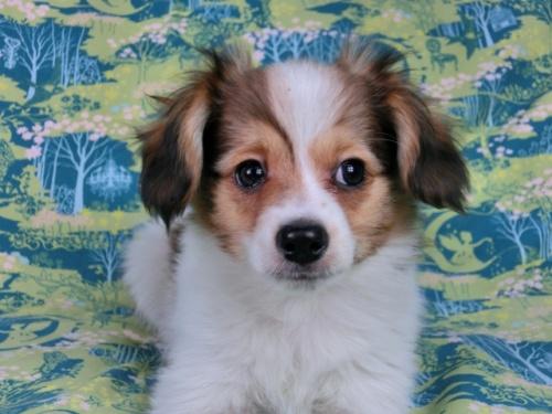 パピヨンの子犬(ID:1244711598)の3枚目の写真/更新日:2017-11-28