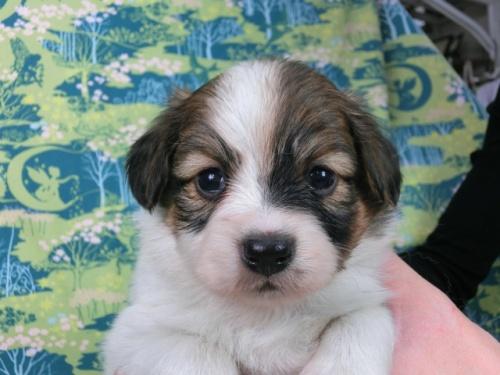 パピヨンの子犬(ID:1244711599)の3枚目の写真/更新日:2017-11-28