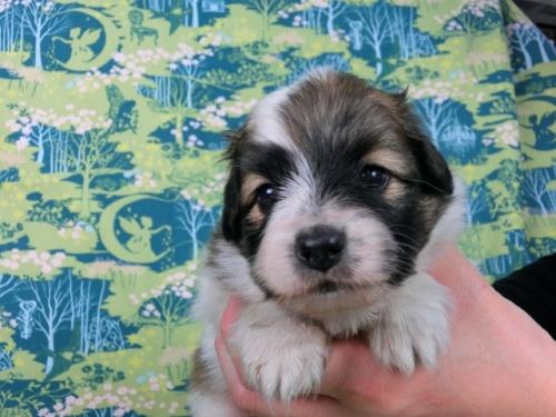 パピヨンの子犬(ID:1244711600)の1枚目の写真/更新日:2017-11-28