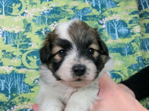 パピヨンの子犬(ID:1244711600)の3枚目の写真/更新日:2017-11-28
