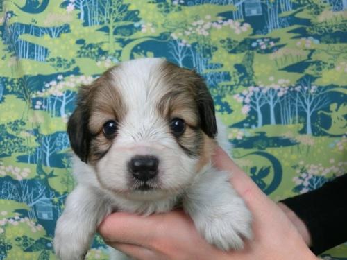 パピヨンの子犬(ID:1244711601)の1枚目の写真/更新日:2017-11-28