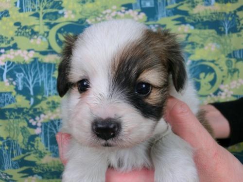 パピヨンの子犬(ID:1244711602)の1枚目の写真/更新日:2017-11-28