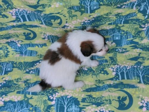 パピヨンの子犬(ID:1244711602)の4枚目の写真/更新日:2017-11-28