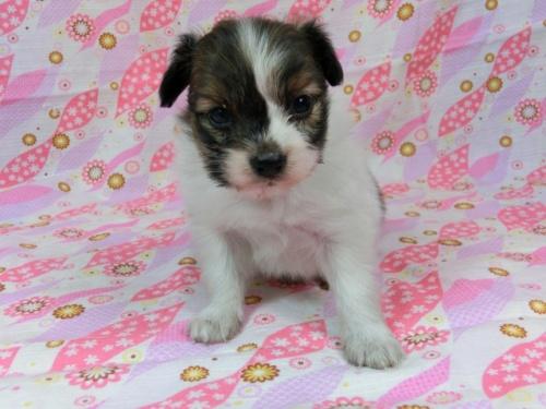 パピヨンの子犬(ID:1244711603)の3枚目の写真/更新日:2017-11-28