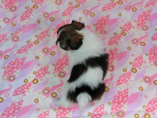 パピヨンの子犬(ID:1244711603)の4枚目の写真/更新日:2017-11-28