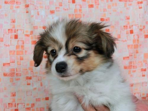 パピヨンの子犬(ID:1244711604)の1枚目の写真/更新日:2017-11-28