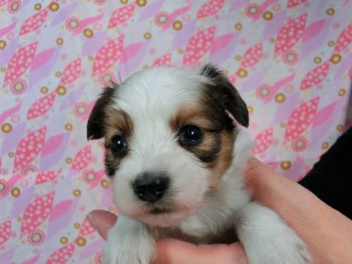 パピヨンの子犬(ID:1244711605)の1枚目の写真/更新日:2017-11-28