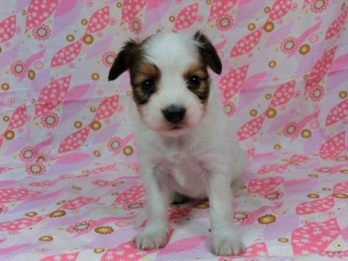 パピヨンの子犬(ID:1244711605)の2枚目の写真/更新日:2017-11-28
