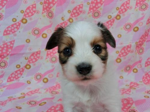 パピヨンの子犬(ID:1244711605)の3枚目の写真/更新日:2017-11-28