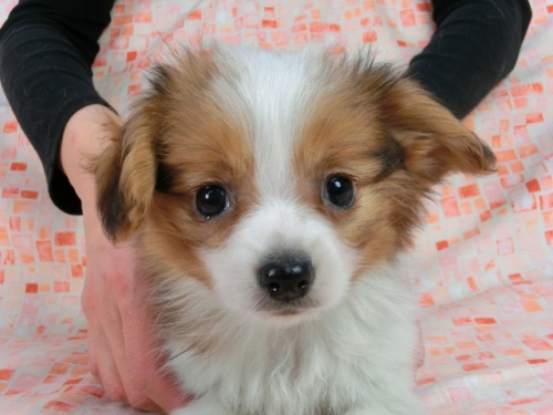 パピヨンの子犬(ID:1244711606)の1枚目の写真/更新日:2017-12-11