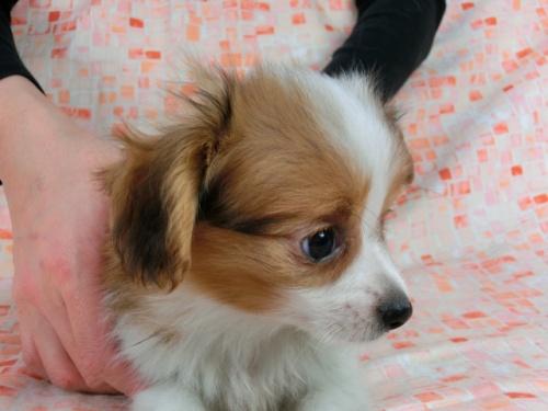 パピヨンの子犬(ID:1244711606)の2枚目の写真/更新日:2017-12-11