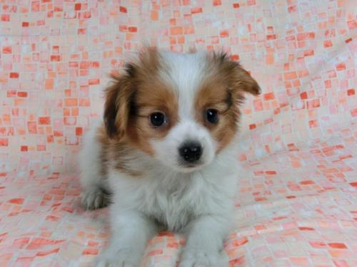 パピヨンの子犬(ID:1244711606)の3枚目の写真/更新日:2017-12-11