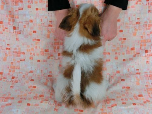 パピヨンの子犬(ID:1244711606)の4枚目の写真/更新日:2017-12-11
