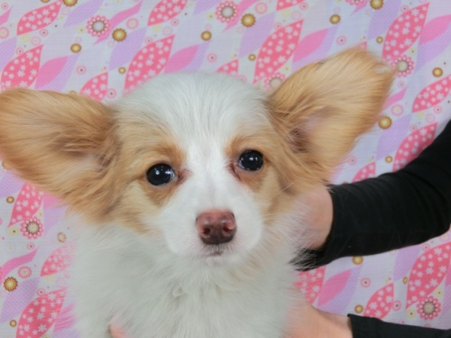 パピヨンの子犬(ID:1244711607)の1枚目の写真/更新日:2017-12-11