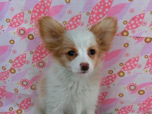 パピヨンの子犬(ID:1244711607)の2枚目の写真/更新日:2017-12-11