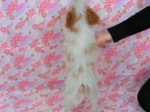 パピヨンの子犬(ID:1244711607)の4枚目の写真/更新日:2017-12-11