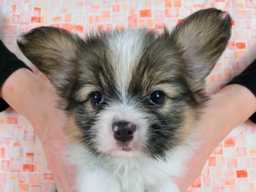 パピヨンの子犬(ID:1244711608)の2枚目の写真/更新日:2017-12-11