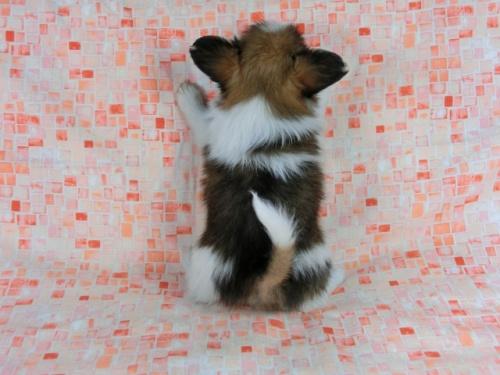 パピヨンの子犬(ID:1244711608)の3枚目の写真/更新日:2017-12-11