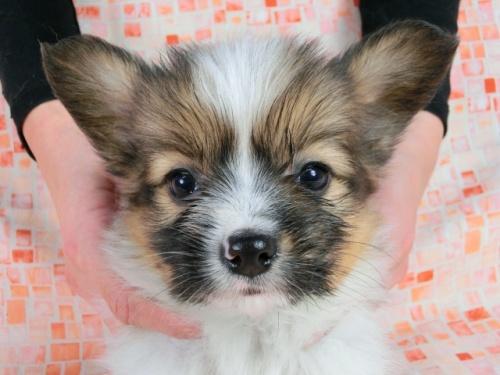 パピヨンの子犬(ID:1244711609)の1枚目の写真/更新日:2017-12-11