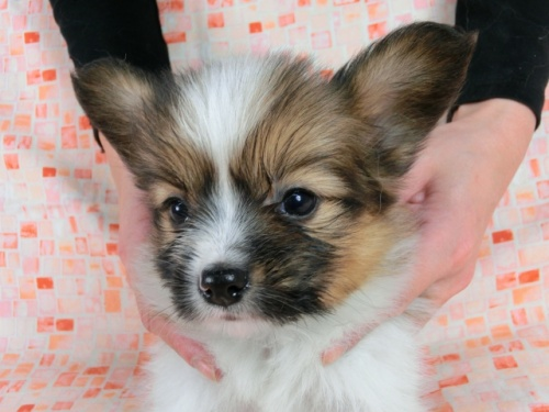 パピヨンの子犬(ID:1244711609)の2枚目の写真/更新日:2017-12-11