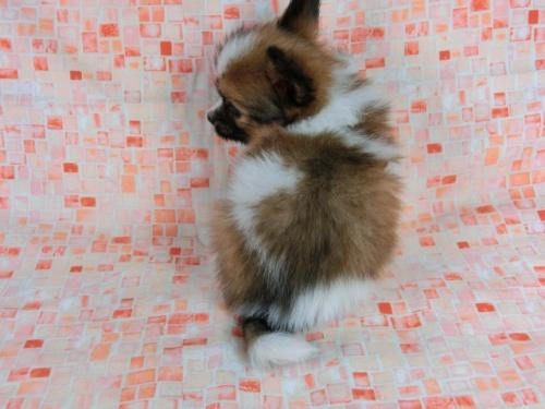 パピヨンの子犬(ID:1244711609)の4枚目の写真/更新日:2017-12-11