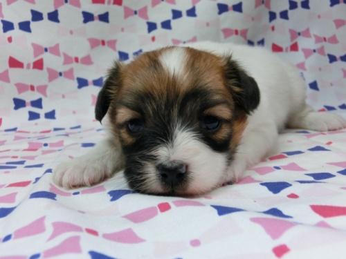 パピヨンの子犬(ID:1244711610)の2枚目の写真/更新日:2017-12-07