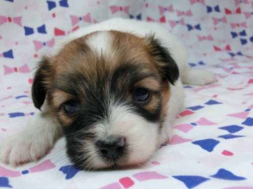 パピヨンの子犬(ID:1244711610)の3枚目の写真/更新日:2017-12-07