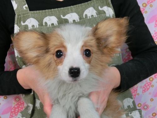 パピヨンの子犬(ID:1244711611)の1枚目の写真/更新日:2017-12-11