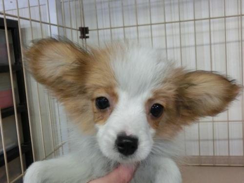パピヨンの子犬(ID:1244711611)の3枚目の写真/更新日:2017-12-11