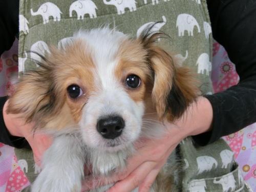 パピヨンの子犬(ID:1244711612)の1枚目の写真/更新日:2017-12-11