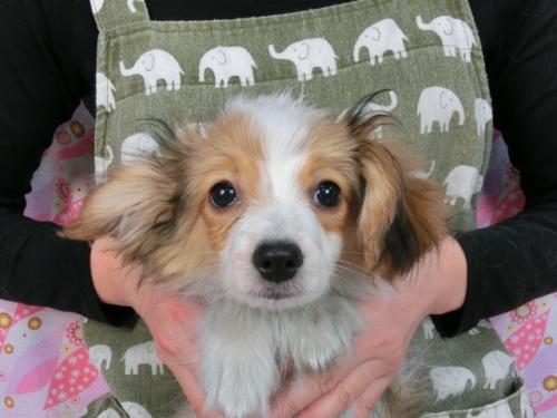 パピヨンの子犬(ID:1244711612)の2枚目の写真/更新日:2017-12-11