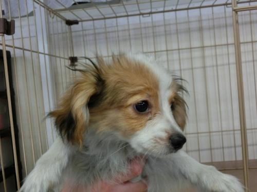 パピヨンの子犬(ID:1244711612)の3枚目の写真/更新日:2017-12-11