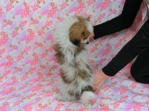 パピヨンの子犬(ID:1244711612)の4枚目の写真/更新日:2017-12-11