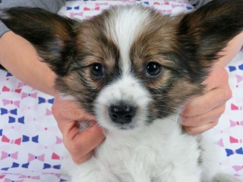 パピヨンの子犬(ID:1244711613)の1枚目の写真/更新日:2017-12-11