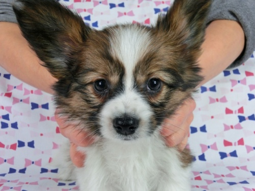 パピヨンの子犬(ID:1244711613)の2枚目の写真/更新日:2017-12-11
