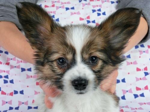 パピヨンの子犬(ID:1244711613)の3枚目の写真/更新日:2017-12-11