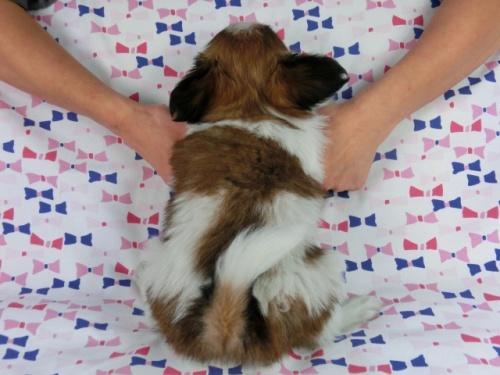 パピヨンの子犬(ID:1244711613)の4枚目の写真/更新日:2017-12-11