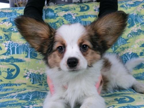パピヨンの子犬(ID:1244711614)の1枚目の写真/更新日:2017-12-11