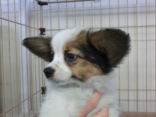 パピヨンの子犬(ID:1244711614)の2枚目の写真/更新日:2017-12-11