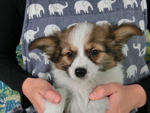パピヨンの子犬(ID:1244711615)の2枚目の写真/更新日:2017-12-11