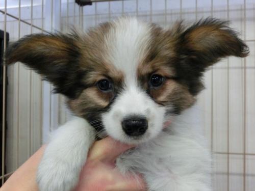 パピヨンの子犬(ID:1244711615)の3枚目の写真/更新日:2017-12-11