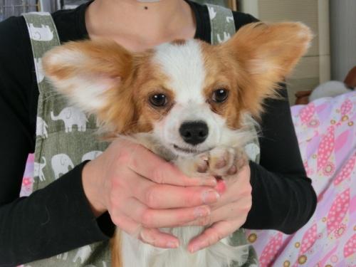 パピヨンの子犬(ID:1244711627)の1枚目の写真/更新日:2018-05-01