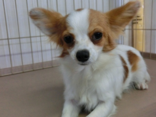 パピヨンの子犬(ID:1244711627)の2枚目の写真/更新日:2018-05-01