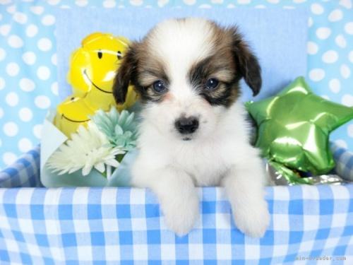 パピヨンの子犬(ID:1244711633)の2枚目の写真/更新日:2021-04-19